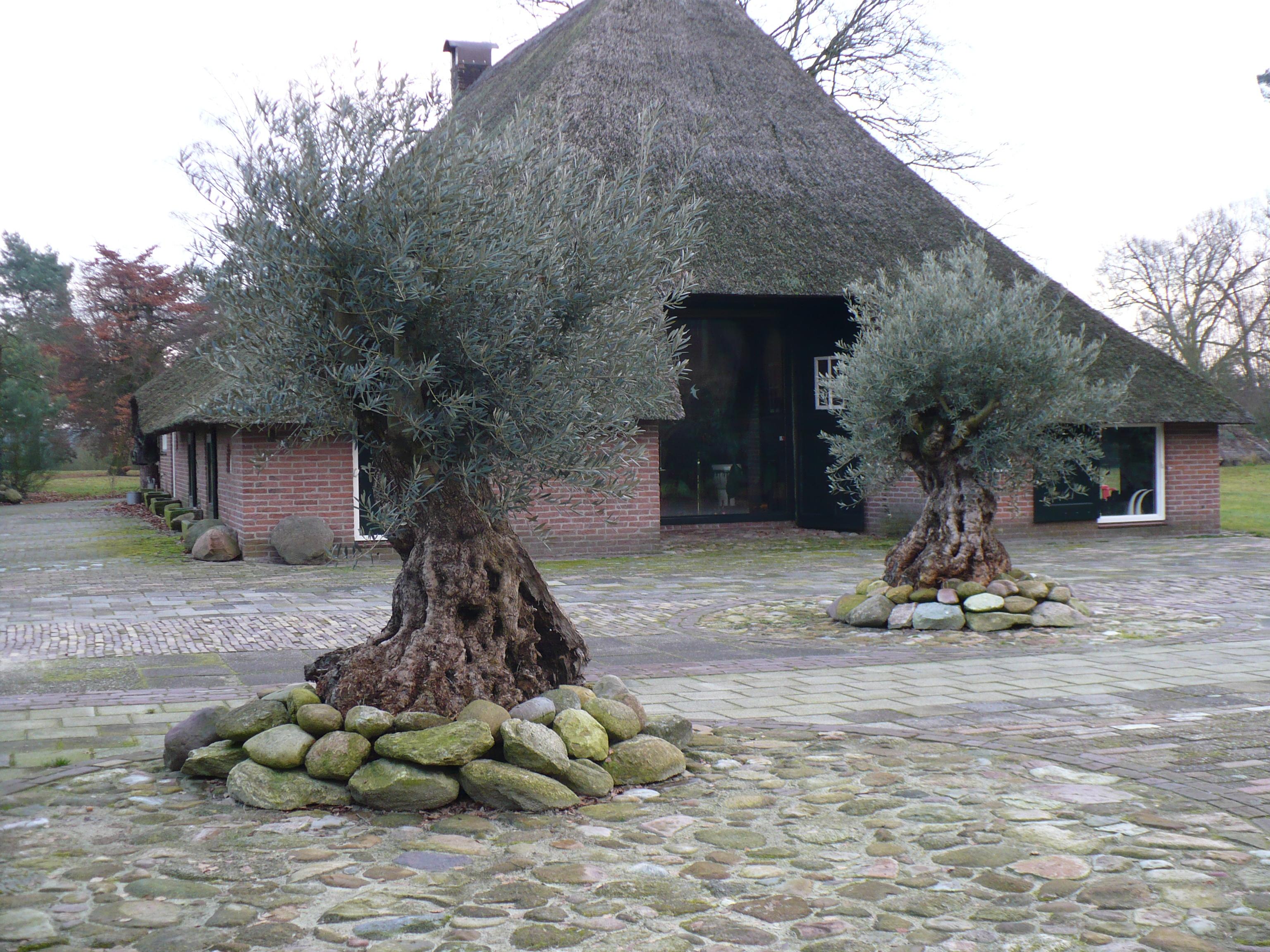 Boom In Pot Buiten Winterhard.Verzorging Olijfbomen Verzorgingstips Palmexpert Nl