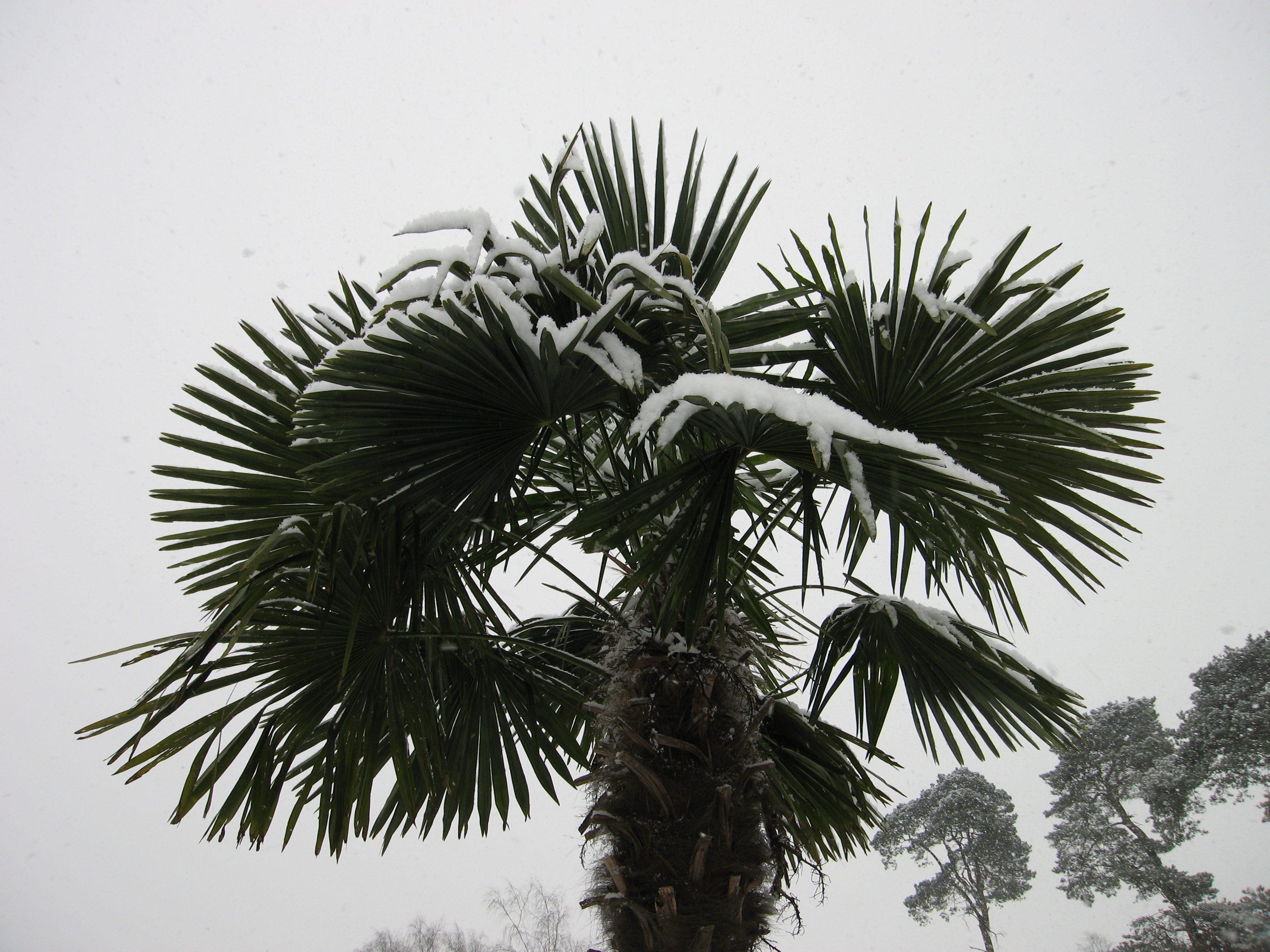 Trachycarpus fortunei - palmboom