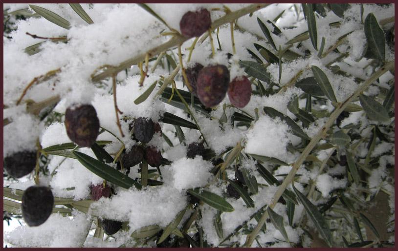 Boom In Pot Buiten Winterhard.Olijfbomen In De Winter Verzorgingstips Palmexpert Nl