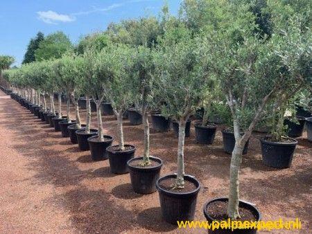 Olijfboom 20/30  cm stamomtrek, hoge stam.