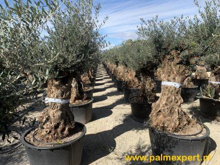 Olijfboom 80/100   stamomtrek mini bonsai