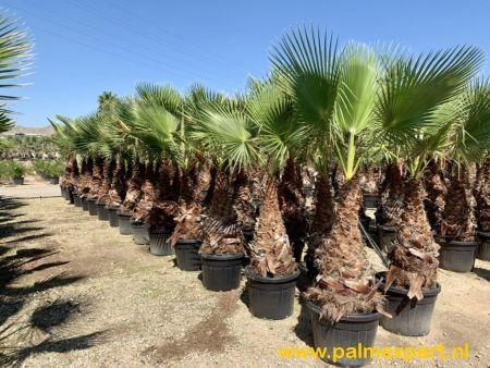 Washingtonia robusta (Mexicaanse waaierpalm)
