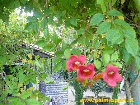 Campsis grandiflora (Trompetklimmer)