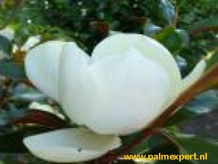 Magnolia grandiflora Gallisoniensis hoogstammen (Magnolia)