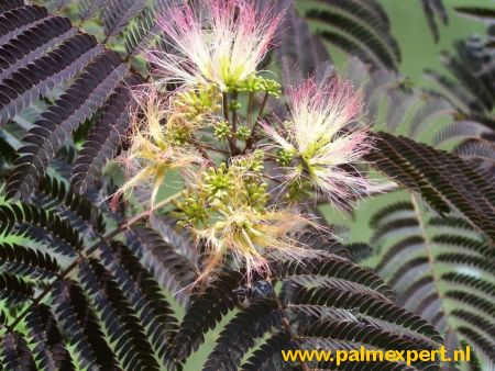 Albizia julibrissin Summer chocolate  hoogstammen