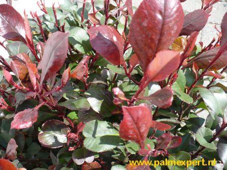 Photinia fraseri Red Robin (Glansmispel)