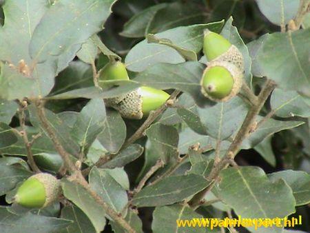 Quercus ilex wintergroene bomen op stam / hoogstammen(Steeneik)