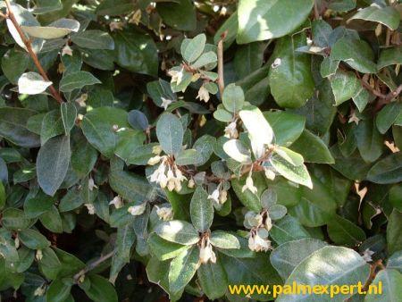 Elaeagnus ebbingei wintergroene bomen op stam / hoogstammen (Olijfwilg)