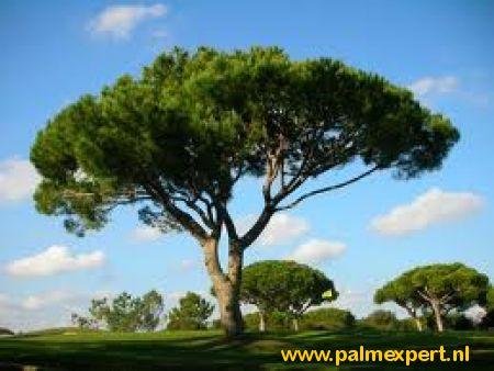 Pinus pinea halfstammen (Pijnboom / Parasolden)