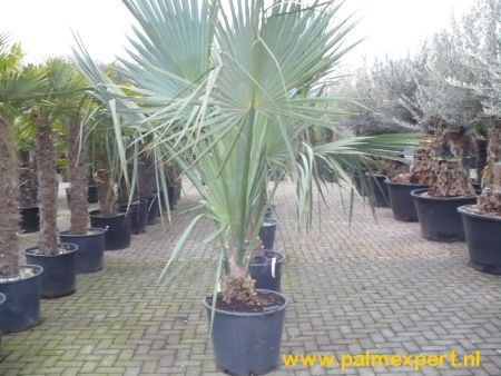 Sabal palmetto (Cabbage palm)