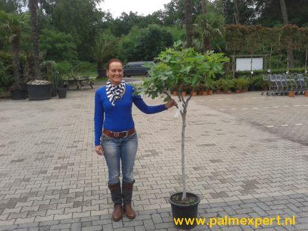 Vijgenboom 10/12 cm  stamomtrek (Ficus carica)