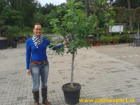 Vijgenboom 14/16 cm stamomtrek (Ficus carica)