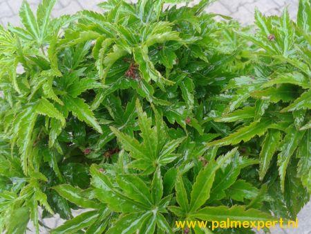 Acer palmatum Shishigashira / Crispifolium