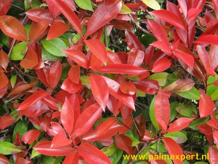Photinia fraseri Red Robin groenblijvende leischermen