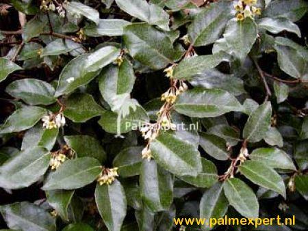 Elaeagnus ebbingei groenblijvende leischermen (Olijfwilg)