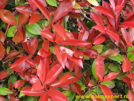 Photinia fraseri Red Robin groenblijvende  leiboom.