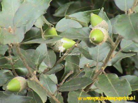 Steeneik ( Quercus ilex ) wintergroene leiboom / scherm op stam.