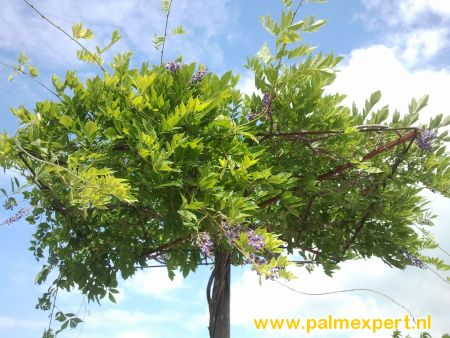 Wisteria floribunda macrobotrys  dakboom op stam (Blauwe regen)