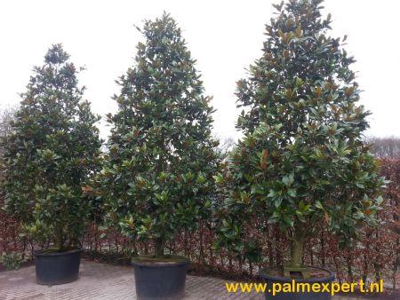 Magnolia grandiflora Gallisoniensis (Beverboom)