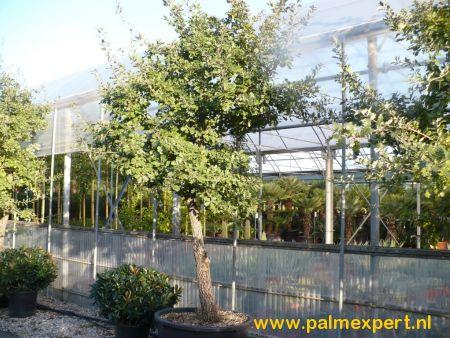 Quercus pubescens (Zachtharige eik)
