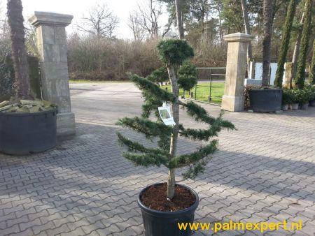 Cedrus deodara bonsai