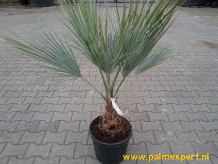 Brahea armata (Mexicaanse blauwe palm)