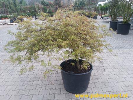 Acer palmatum Ornatum exemplaar