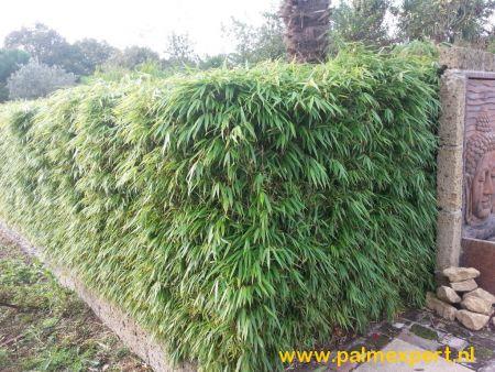 Fargesia rufa (niet woekerende bamboe)