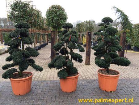 Ilex crenata Kinme bonsai, Japanse hulst