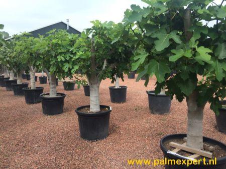 Vijgenboom 40/50 cm  stamomtrek (Ficus carica)