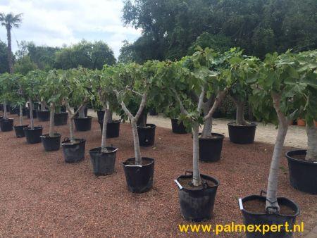 Vijgenboom 20/25 cm stamomtrek (Ficus carica)