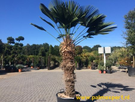 Trachycarpus wagnerianus (Wagnerpalm)