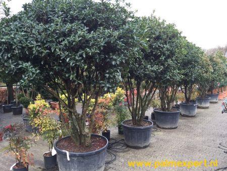 Osmanthus aquifolium multistammen