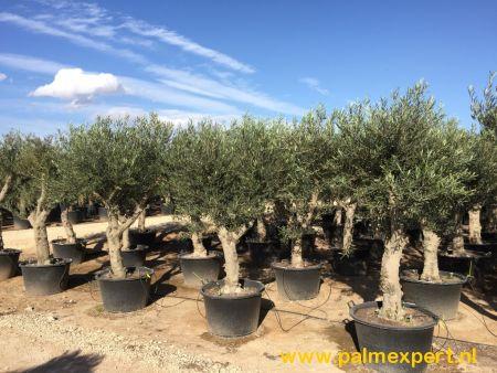 Olijfboom 40/50 cm stamomtrek grillige vorm