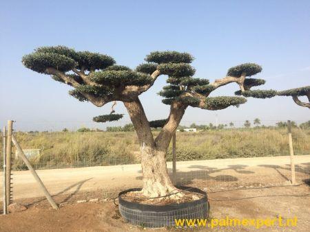 Olijfboom macro bonsai