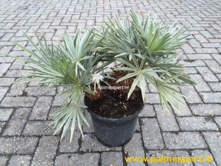 Trithrinax campestris (Blauwe dadelpalm)