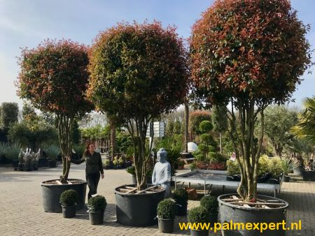 Photinia fraseri Red Robin exclusieve multistammen.