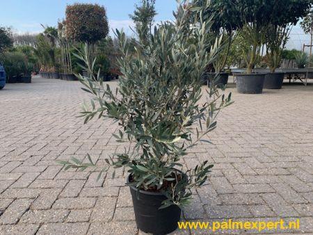 Olijfboom struik 80/100 cm