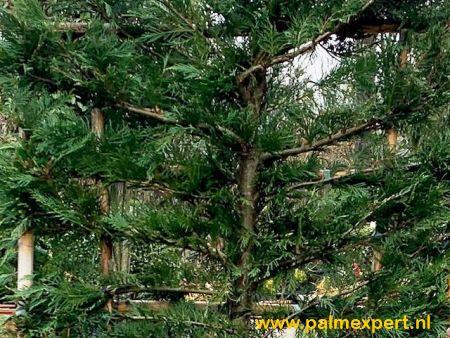 Cupressocyparis leylandii wintergroene leischermen (leylandcipres)