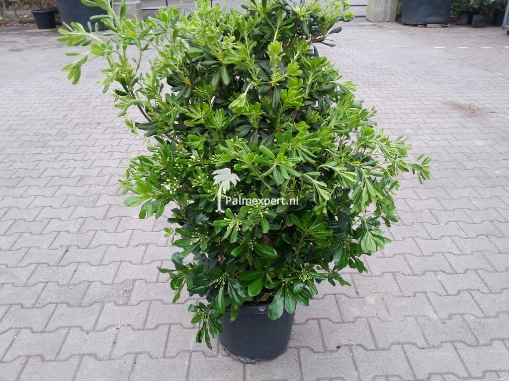 Pittosporum tobira (Kleefzaad)