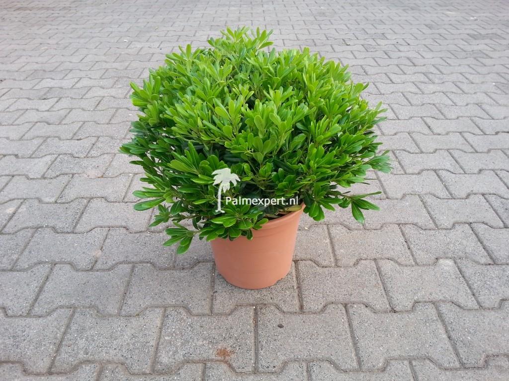 Pittosporum tobira Nanum (Kleefzaad)