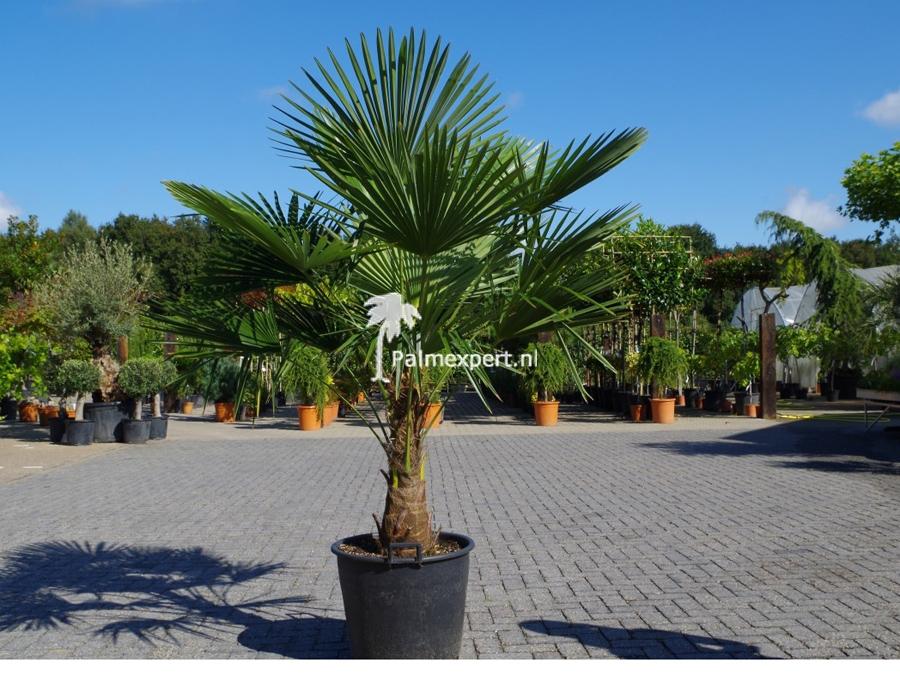 Trachycarpus fortunei (Chinese henneppalm)