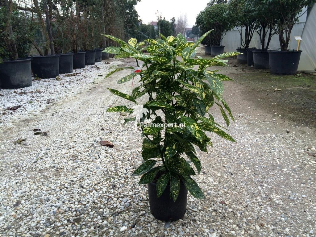 Aucuba japonica Crotonfolia