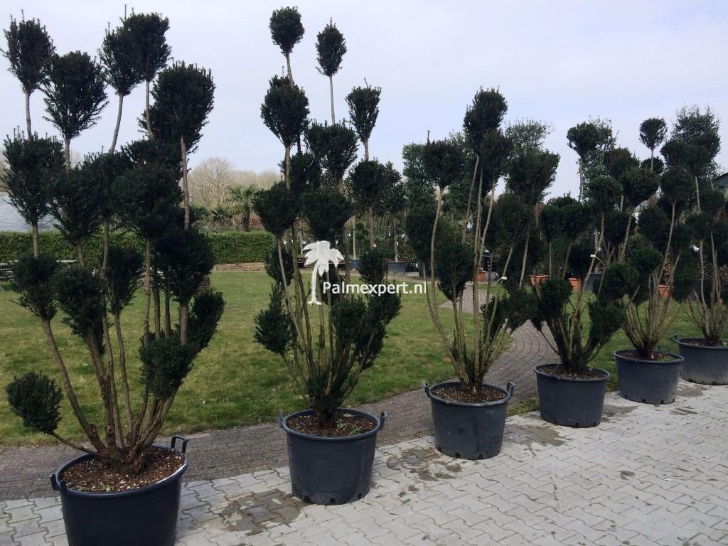 Taxus baccata pon pon vormsnoei