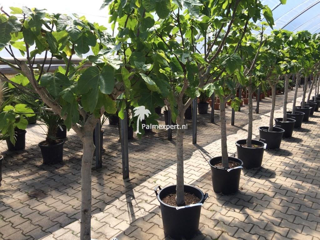 Vijgenboom 16/18 cm stamomtrek (Ficus carica)