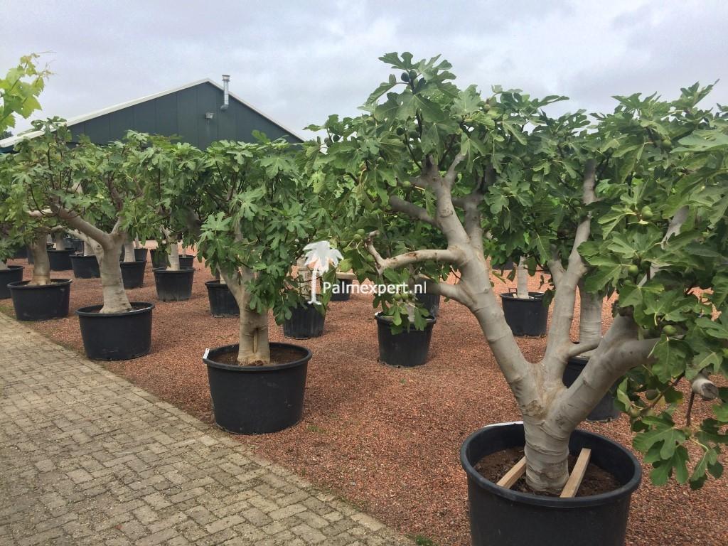 Vijgenboom 60/70 cm  stamomtrek (Ficus carica)