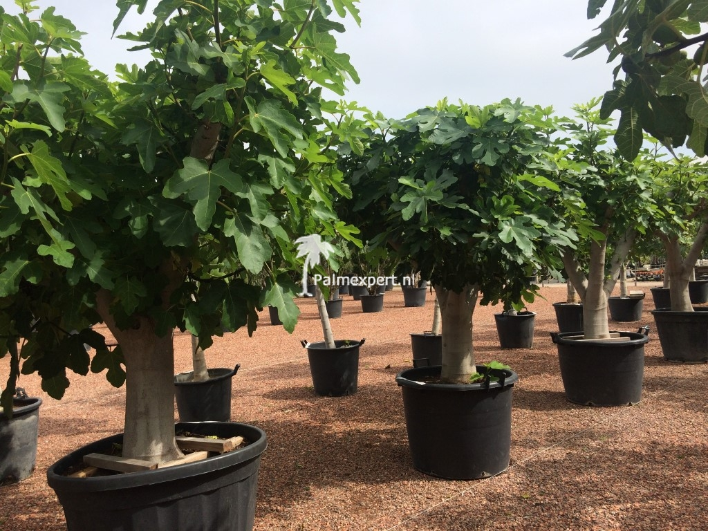 Vijgenboom 50/60 cm  stamomtrek (Ficus carica)