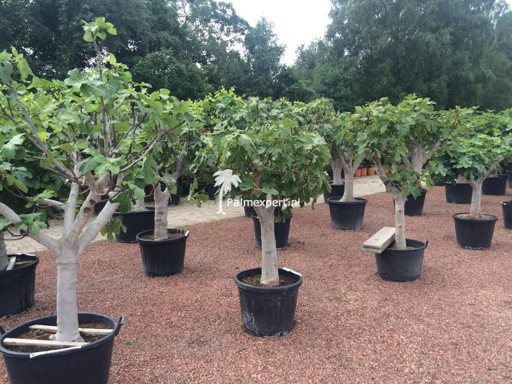 Vijgenboom 30/40 cm  stamomtrek (Ficus carica)