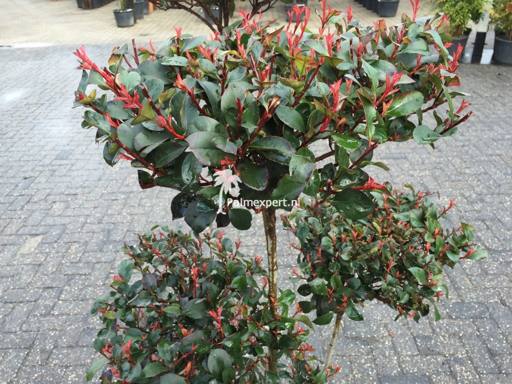 photinia fraseri compacta little red robin. Black Bedroom Furniture Sets. Home Design Ideas