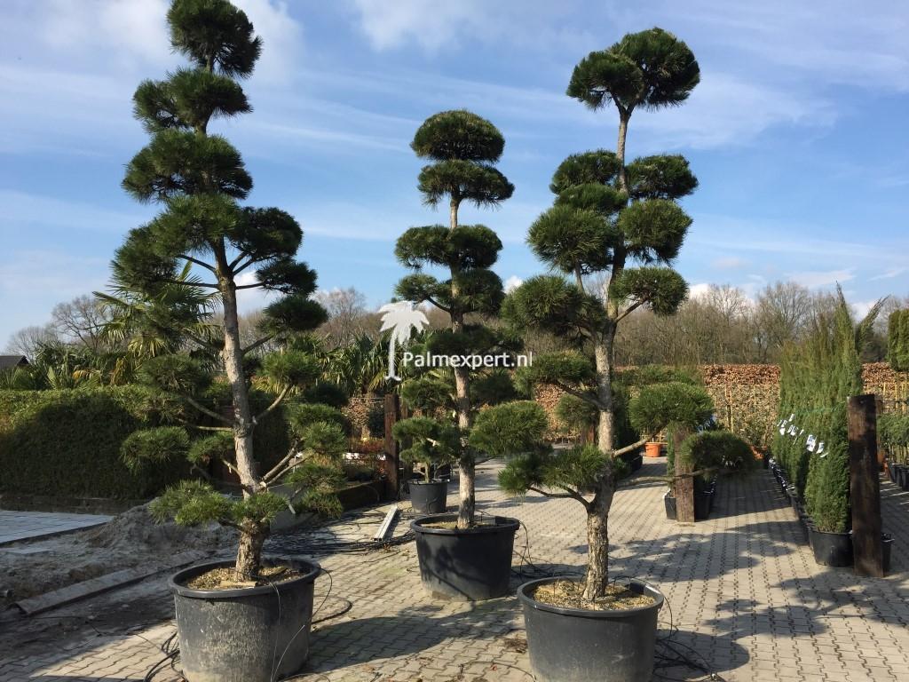 Pinus nigra nigra pon pon